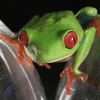 Tree Frog, Red-Eyed