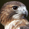 Hawk, <br>Red-tailed