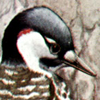 Woodpecker, Red-Cockaded