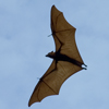 Flying Fox Bat