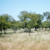 Savanna <br>(Tropical Grassland)