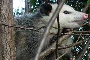 An opossum treed