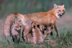 A vixen with her pups