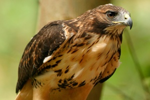 Keen eyesight helps the hawk find food