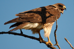 A hawk callling to its mate