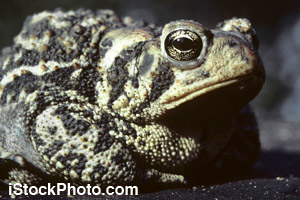 An adult toad