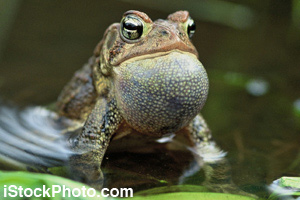The toad's dewlap