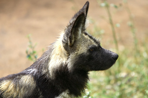 Wild dogs have a keen sense of hearing.
