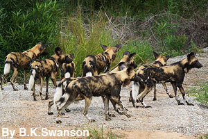 A hunting pack of wild dogs